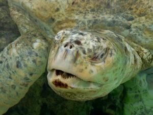 Green Turtle, Albino,