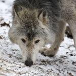 Eastern Timberwolf (Canis lupus lycaon), picture taken in Schönbrunn Zoo, Vienna, Austria.