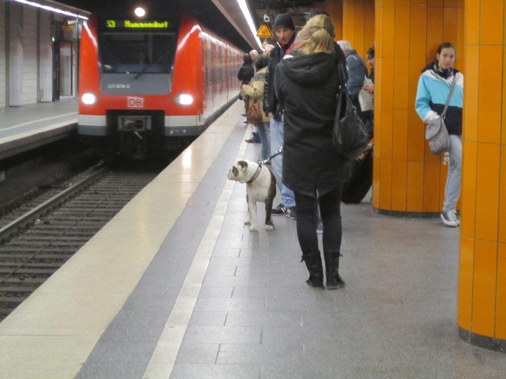 stachushound